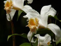 White Orchid #CostaRica