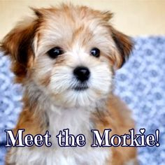 Meet the Morkie! One of the cutest, fluffiest designer dogs available. Fall in love: