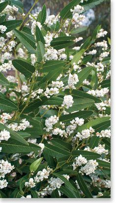 Hardenbergia 'White Out' I planted four meadow sages at the base of this vine to bring year round interest to the site Sun Garden, Garden Shrubs, Dream Garden, Australian Native Garden, Australian Plants, Evergreen Climbers, Meadow Sage, Fast Growing Evergreens, Screen Plants