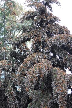Monarch butterfly migration, Mexico. This would be so spectacular to see!