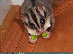 Sweet sugar glider tiny hands hold peas...