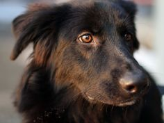 Flat Coated Retriever.  I just met my first one today (this is not her, but she was just as beautiful.