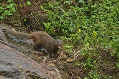 The brown mongoose (Herpestes fuscus) is restricted to evergreen forests, plantations and even human habitations in the Southern Western Ghats and Sri Lanka. Not much is known about this species compared to other mongooses. Evergreen Forest, Mongoose, Sri Lanka, Conservation, Brown, Nature, Animals, Image, Animales