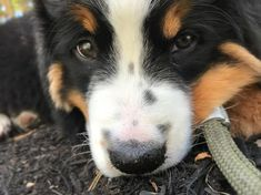 Good morning! #dog #dogs #dogsofpinterest #cachorro #cachorros #cute #petluni #pets #pet #fluffy #dogofpinterest #woof #auau #bernese #bernesemountaindog #bernesedog #bigdog  *autor da foto desconhecido* Bernese Dog, Pet Shop Online, Corgi, Animals, Diy Dog, Gatos, Corgis, Animales, Animaux
