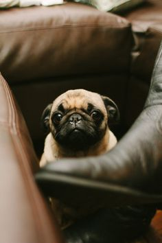 cutest! #dog #pug #pets
