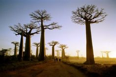 Baobab Trees  These large trees can grow up to 50 feet tall and are the natural equivalent of water towers.  Found in Africa, the Arabian Peninsula, Madagascar, and Australia and have been used in dry seasons for their water supplies stored in hollows in the tree. The white powder in their seed pods can be utilized as food, and their leaves have medicinal purposes.    (Photo: Ken Massey / Getty)