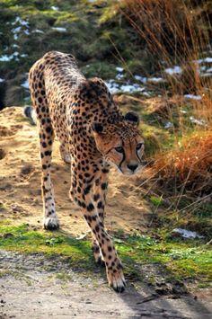 A Cautious Walkin' Cheetah.