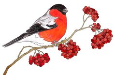 Bullfinch. By me! Cute Cartoon Pictures, Bird Pictures, Watercolor Bird, Watercolor Animals, Christmas Pictures, Christmas Art, Bullfinch, Winter Painting, Bird Theme