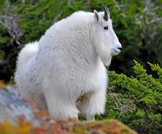 white shaggy MT goat   on Mount Juneau. Area goats are showing their long, shaggy, white ...