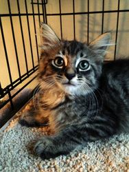 Friskie is an adoptable Maine Coon Cat in Bonner Springs, KS.... AWWWW I want him!