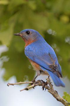 texas eastern blue bird - Google Search