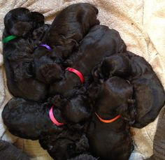 7 Chocolate Cocker Spaniel Puppies taking a power nap - 5 weeks old in this picture - FlowerCockers Little Miss Daisy is the mom of this beautiful group of loving, cuddly babies