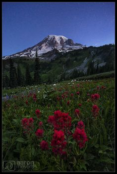 Aaron M Photo posted a photo:  I've been wanting to visit Mt. Rainier for a number of years. When the snow melts around the dormant volcano, wildflowers pop up everywhere. Fields and fields and fields of wildflowers, so much that it often just looks like sheets of color. The wildflowers bloom in August every year, but some years have more flowers than others and it's all dependent upon how much snow the area gets and when it melts.  The winter was a nice wet one, and Willie and I had high…