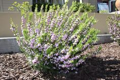 coleonema pulchrum, pink breath of heaven Front Yard Plants, Backyard Plants, Garden Landscaping, Mission Hills, Drought Tolerant Plants, Be Natural, Edible Garden, Flower Beds, Garden Planning