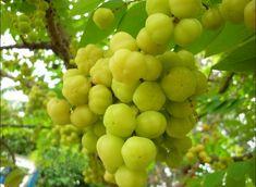 Hasil gambar untuk aneka tanaman buah buahan