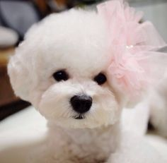My favourite doggies.hopefully Santa will bring me one xXx Pink Bichon Frise Bichon Frise, Bichon Dog, Teacup Chihuahua, Teacup Maltese, Yorkie, Cute Puppies, Dogs And Puppies, Jiff Pom, Animals And Pets