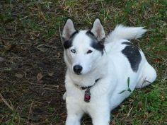 Meet Dakota, a Petfinder adoptable Siberian Husky Dog | Jacksonville, FL | Dakota is a 4 year old Siberian Husky who is spayed, mostly housebroken, cat and dog friendly. She...