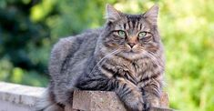 Norwegian Forest Cat is listed (or ranked) 1 on the list 28 Dog and Cat Species That Are Amazingly Rare