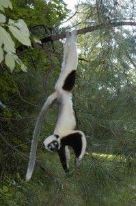 its a lemur! Primates, Mammals, Call Of The Wild, Panda Bear, Reptiles, Cute Animals, Wildlife, Creatures, Lemurs