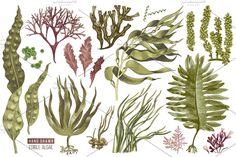 Ad: Hand drawn edible seaweeds by handsketched on Hand drawn edible seaweeds is a set of 12 types of edible seaweeds - macrocystis perifera, spirulina, laminaria, himantalia elongata, Forest Illustration, Graphic Illustration, Edible Seaweed, Sea Costume, Beach Clipart, Sea Life Art, Coral Art, Hand Drawn Type, Sea Theme