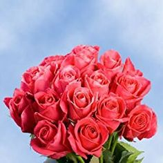 75 Fresh Cut Hot Pink Roses Long Stem | Hot Lady Roses | Fresh Flowers Express Delivery | Perfect for Birthdays, Anniversary or any occasion.