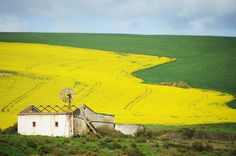 Canola fields, R319 between Swellendam and Caledon, Overberg Region, South Africa