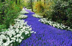Pavement of Lavender Flowers with White