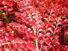 Irga - Cotoneaster integerrimus
