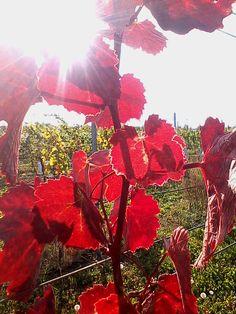 Zwigeltrebe - vinobraní 2012 / wine harvest 2012 - vinohrad Tasovice / vineyard Tasovice