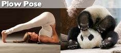 27 #yoga positions demonstrated by #animals - plow pose with #panda! so adorable