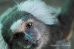 Primates: The Fearless Science of Jane Goodall, Dian Fossey, and Biruté Galdikas Marmoset Monkey, Dian Fossey, Jane Goodall, Orangutan, Primates, A Funny, South Africa, Wildlife, Bear