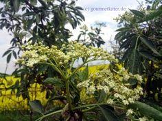 Der Holunder blüht schon! The first flowers of Elder this year!