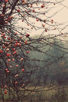"""Autumn Apples"" gallery wrap by judeMcConkeyPhotos"