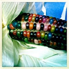 The stunning, multi-colored corn is real and edible, and its seeds are now in high demand. It's a good thing someone spent time saving the seeds. Variety Of Fruits, Fruits And Veggies, Healthy Eating Blogs, What Is Glass, Rainbow Corn, Colored Corn, Glass Gem Corn, American Corn, Fun Facts About Animals