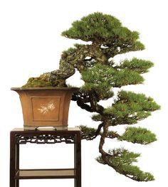 Black pine cascade