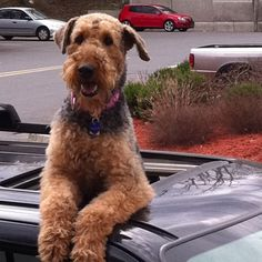 Sweet Airedale