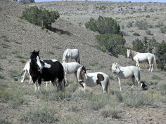 Wild horses of Placitas, getting my own photos of these mustangs - new goal.