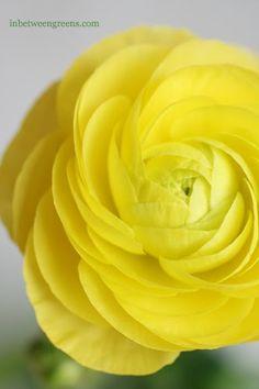 Soft Yellow Ranunculus