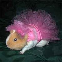 Guinea+pigs+dressed+up | Have You Ever Wanted To Dress Up Your Guinea Pig? - Peter's Reviews