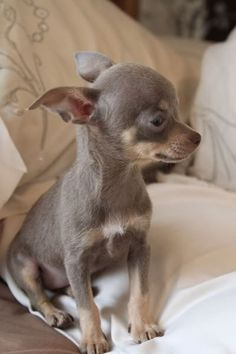 Best 25  Apple head chihuahua ideas on Pinterest