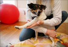 Jack Russell/terrier mix at Northwest School of Animal Massage