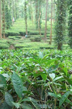 India. south Kerala, south hill Kerala plantation, kumily pickers