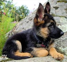 Training Your German Shepherd Dog - Champion Dogs I Love Dogs, Cute Dogs, Gsd Puppies, Gsd Dog, German Shepherd Puppies, German Shepherds, Beautiful Dogs, Cute Baby Animals, Rottweiler