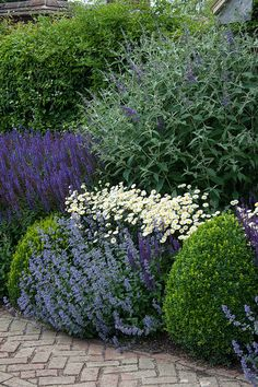 Mixed herbaceous border containing Anthemis tinctoria 'E.C. Buxton', Salvia nemorosa 'Ostfriesland', Nepeta, Buddleia and clipped Box balls, Town Place, late June.