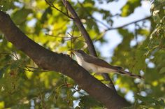 September 2014 The Yellow-billed Cuckoo, a difficult-to-find bird in Central PA, is a member of the Cuculidae family, which also includes roadrunners and anis. Cuckoos will sit in a tree and. Ag Science, Birds Photos, Sitting In A Tree, Animal Help, Photo A Day, Farm Animals, Yellow, Pets, Gold