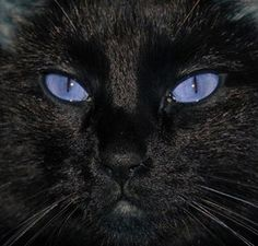 Beautiful Black CATS (ᵔᴥᵔ) Rare cat breeds and Breed information - Ojos Azules