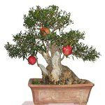 20pcs Pomegranate Evergreen Tree Seeds Garden DIY Deciduous Shrub Potted Plant – BestSeller Products Reviewers