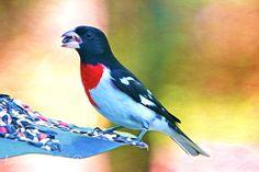 Bird Art Print Wildlife Art Print Male Grosbeak by FineArtography
