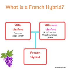 French hybrid is the name given to a grape variety derived from crossing a European wine variety with a non-vinifera (unusally american) grape species Wine Varietals, Buy Wine Online, What Is It Called, Wine Making, Wineries, Tasmania, Things To Think About, Australia, Magazine