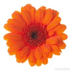 GrowersBox.com: Flowers: Mini-Gerbera Daisies Orange 116 Stems: Wholesale Flowers